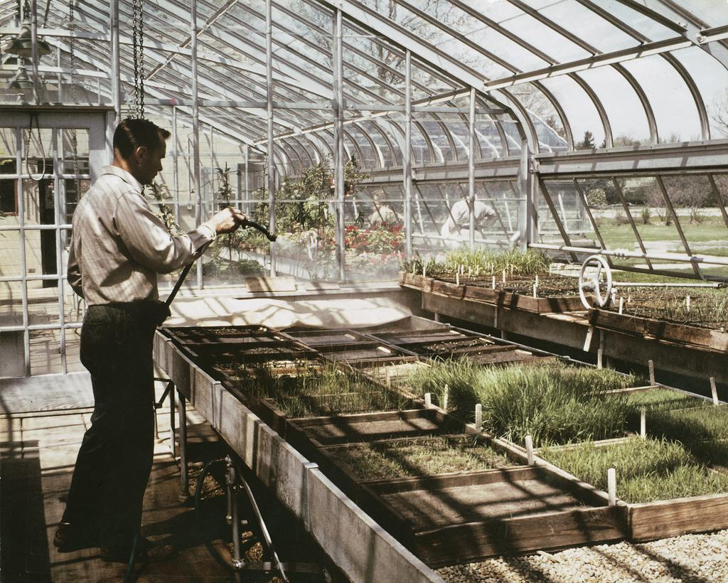 A digitized color photograph showing Ray Schulenberg watering plants in a greenhouse.