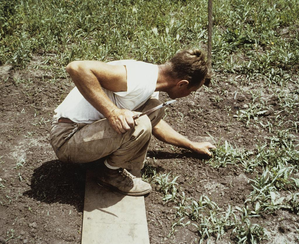 A digitized color photograph showing Ray Schulenberg weeding plants in the prairie.