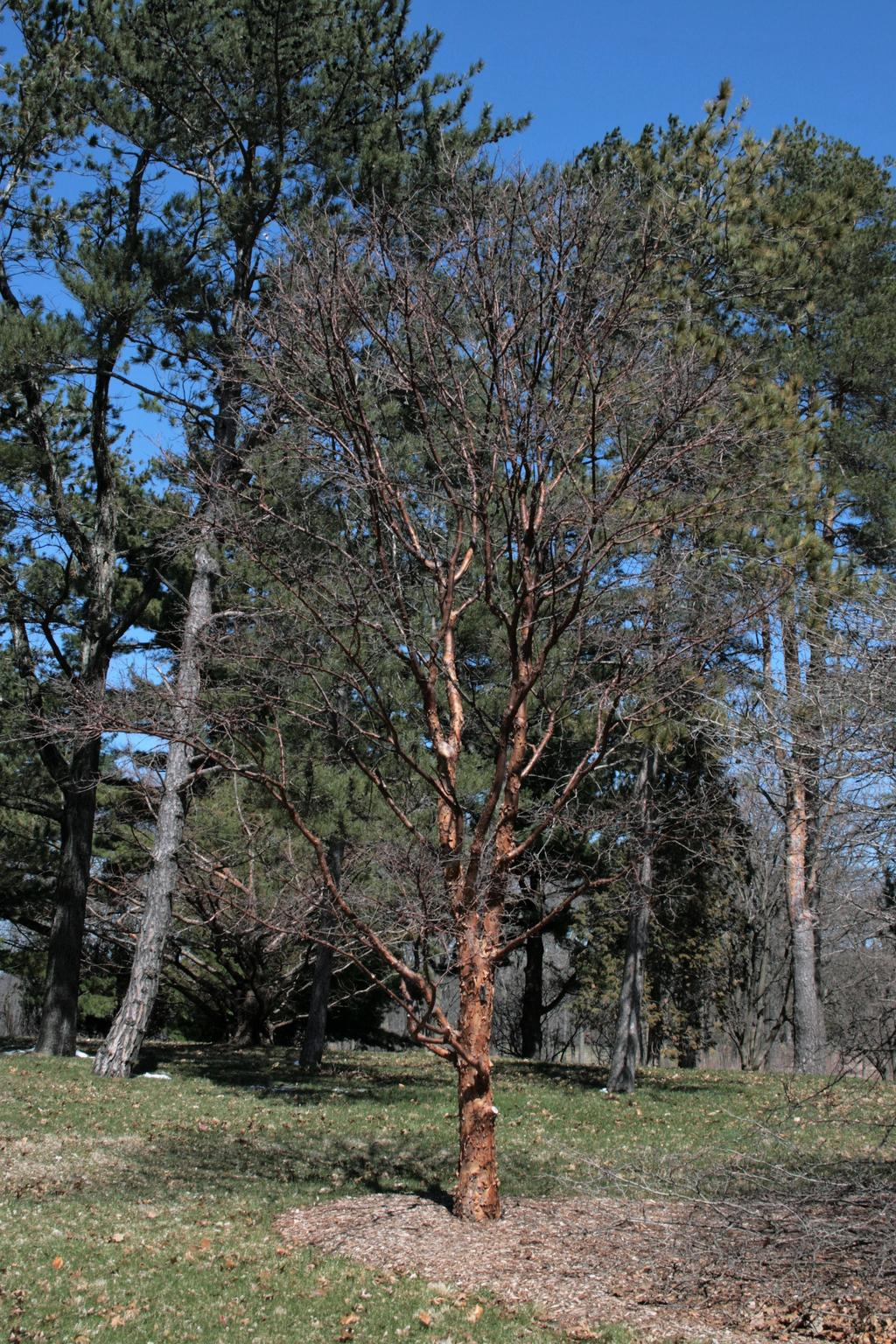 This photograph depicts a paper-barked maple. In the picture, you can see the entire tree. The tree does not have any leaves and the bark is a light brown. There are also additional trees in the background.