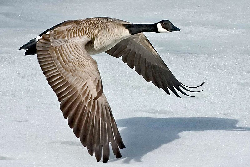 A black and white Canada goose flying low to the snow covered ground. It's wings are nearly touching the snow.