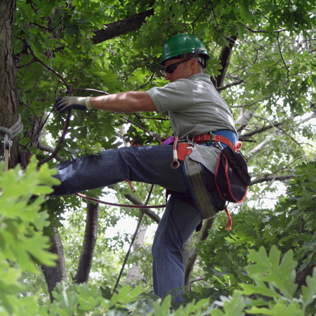An man climbs a tree to inspect it for damage