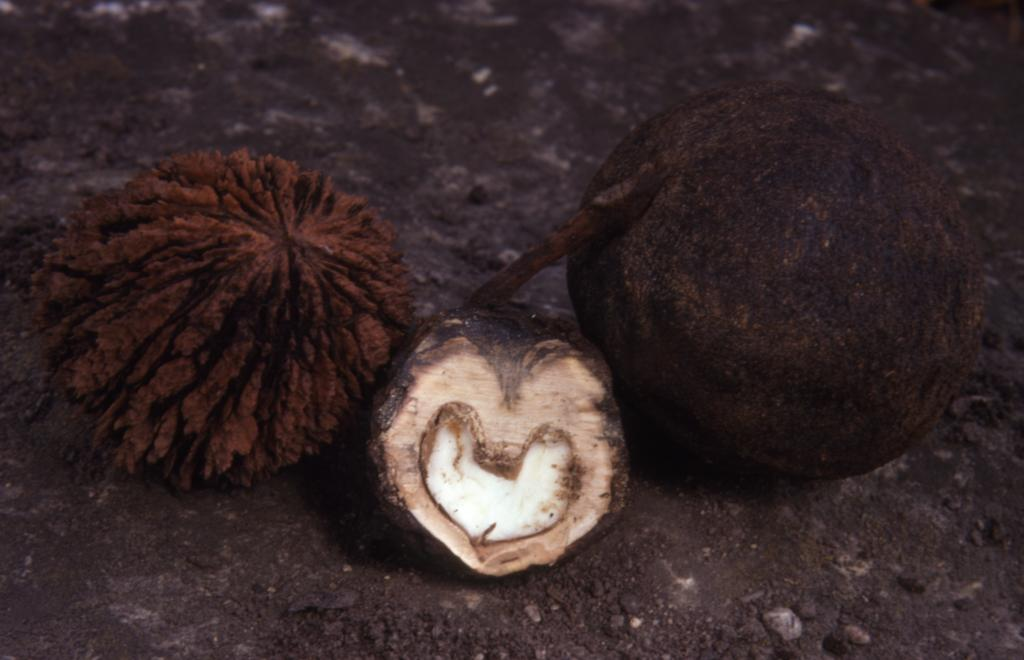 Juglans nigra (black walnut), fallen dark brown rounded nuts , one with irregular deep groves and jagged broken ridges, one cut open down center, one with smooth surface
