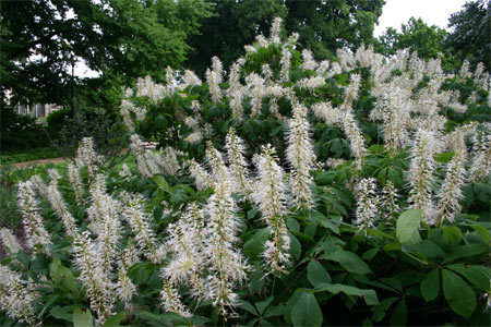 The bottlebrush buckeye is a large shrub with white, bottlebrush-shaped, spiky flowers on coarse-textured, dark green compound leaves