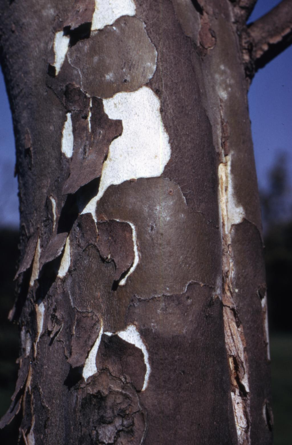 This photograph depicts a close-up of the trunk of a Sycamore tree. In the image, you can see the tree's grey bark peeling away from the trunk, exposing a white colored trunk.