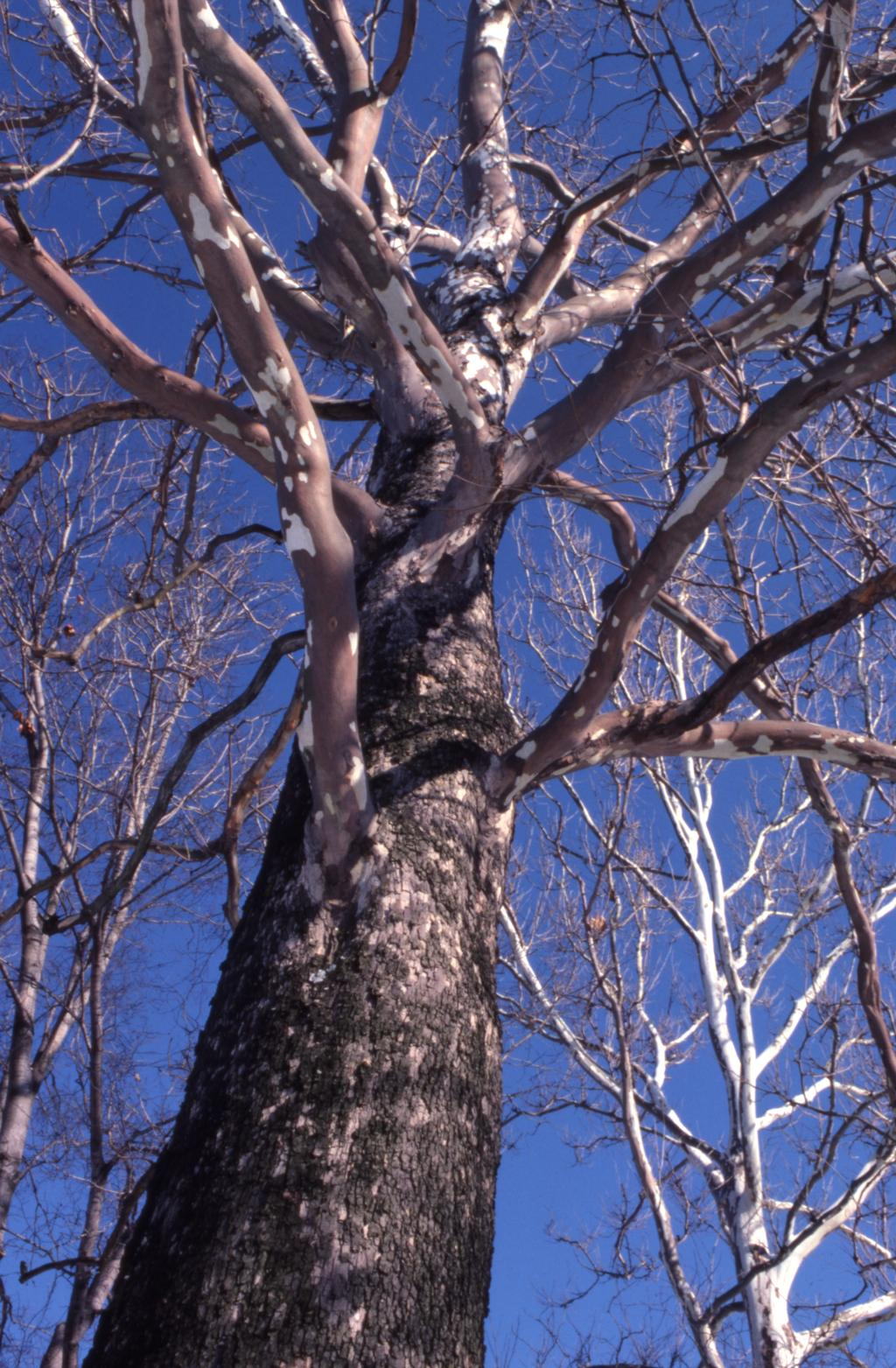 This photograph depicts a sycamore tree. The picture was taken at an angle so we are looking up and to the branches. In the picture you can see the tree's bark peeling and the bare branches.