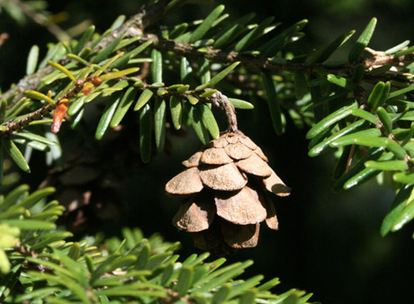Pine cone on an Eastern Hemlock tree in the Appalachia Collection