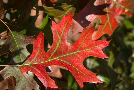 Pin oak leaf