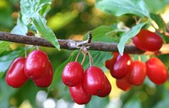 Corneliancherry dogwood (Cornus mas)