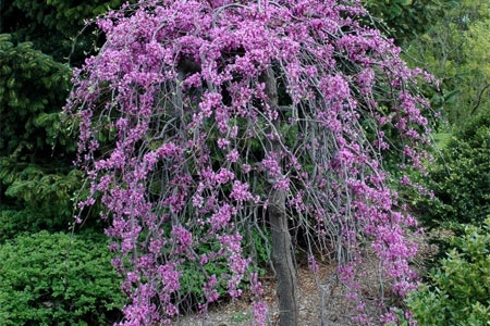 Umbrella-shaped crown, contorted stems arching to pendulous branches of the lavender Twist® redbud