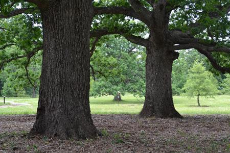 Mature oak trees in the Oak Collection