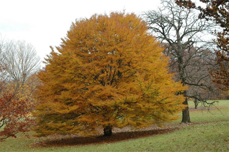A large tree with smooth silvery gray bark, short trunk and a low branching habit., the European beech has glossy dark-green leaves that turn russet or bronze in the fall