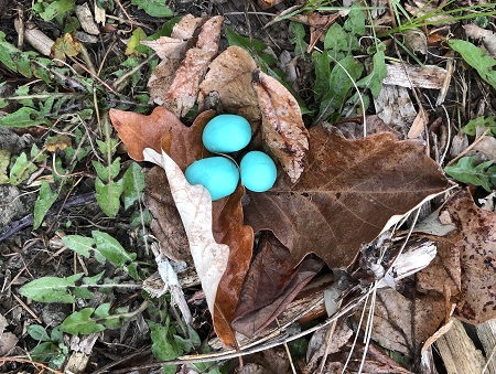 Three blue robin eggs have been placed in dried leaves.