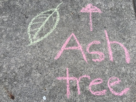 The name of a tree is written in chalk on a sidewalk.