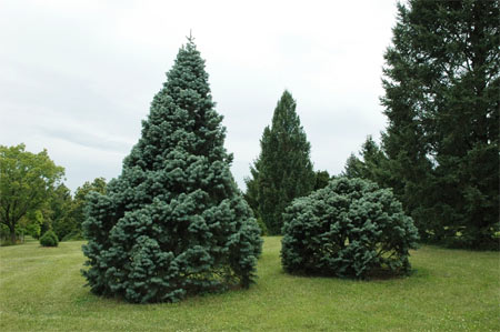 The white fir has attractive, blue-green needles that curve outward and upward on branches