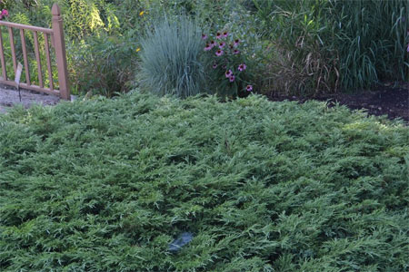 Hughes trailing juniper is a low, spreading shrub with silvery blue foliage