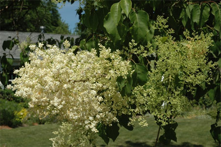 The large, creamy-white, flower clusters of Peking lilac