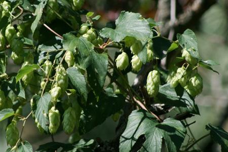 Light green hops hang from a vine