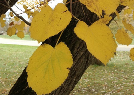 Silver linden is a large tree with leaves that are dark green on top and silvery-white on the underside. Fall color is a mild yellow.