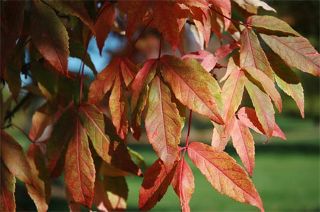 The leaves of a Manchurian maple in the fall