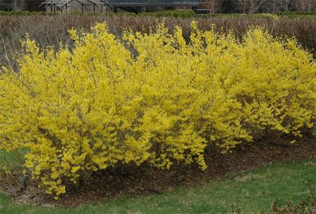 Meadowlark Forsythia (Forsythia 'Meadowlark') in the Hedge Garden