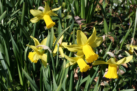 Narcissus - bulbs that thrive under trees