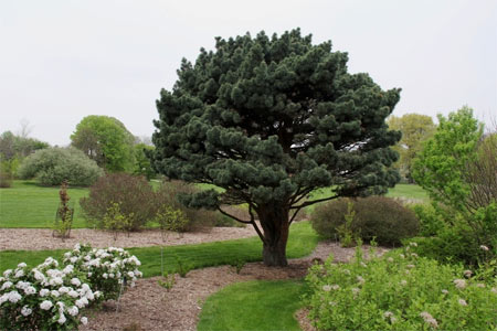 The Scots pine has a broad pyramidal habit with fairly short, blue-green leaves and orange-red bark.