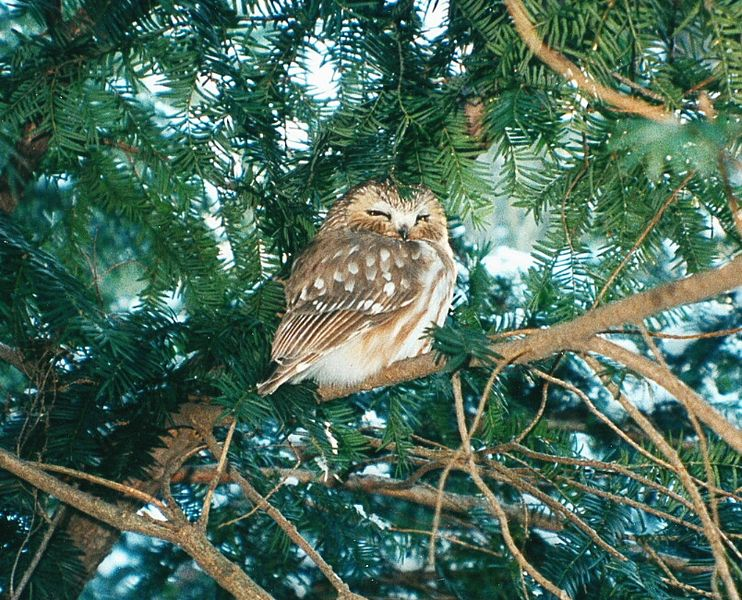 A photograph of a fluffly brown and white Northern saw whet owl. The owl is perched in a bright green evergreen tree.