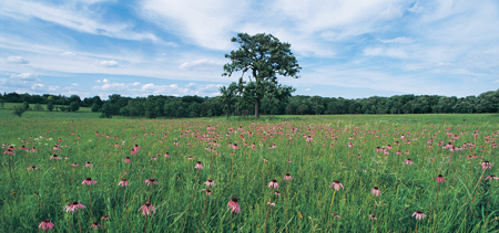 The Schulenberg Prairie at The Morton Arboretum with coneflowers blooming pink.