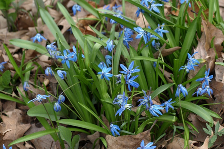 Siberian squill- bulbs that thrive under trees