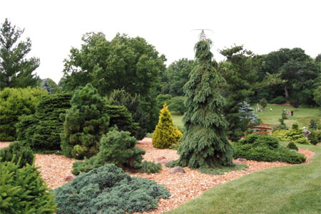 Weeping white spruce has blue-green foliage that hugs the trunk, sweeping downward to create a refined pyramidal form