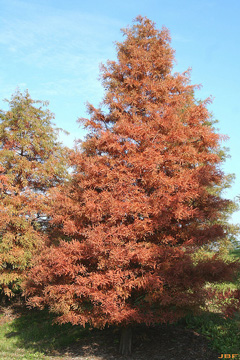 Bald-cypress (Taxodium distichum)