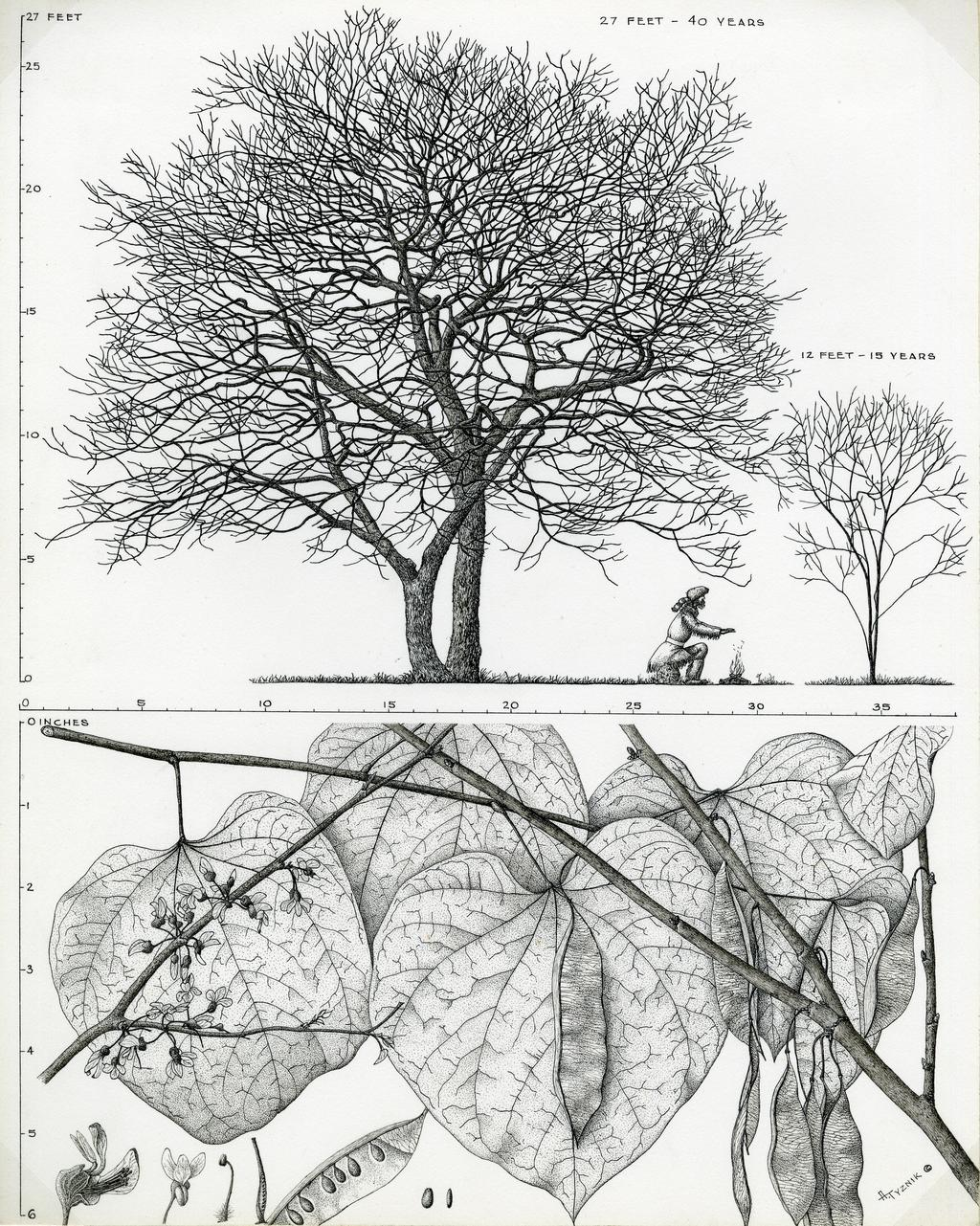 Tree Portrait: Cercis canadensis (redbud)  Scale drawing of mature and immature trees, flowering and fruiting branches, and flower and fruit cross sections. Tree age and height above tree images.