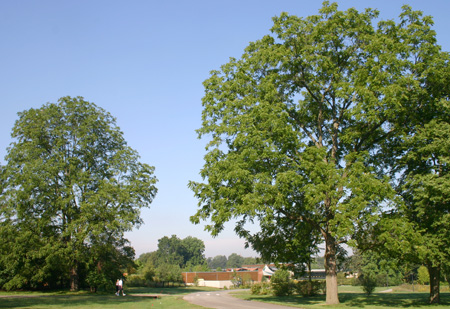 A towering black walnut tree in summer