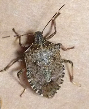 Adult brown marmorated stink bug.