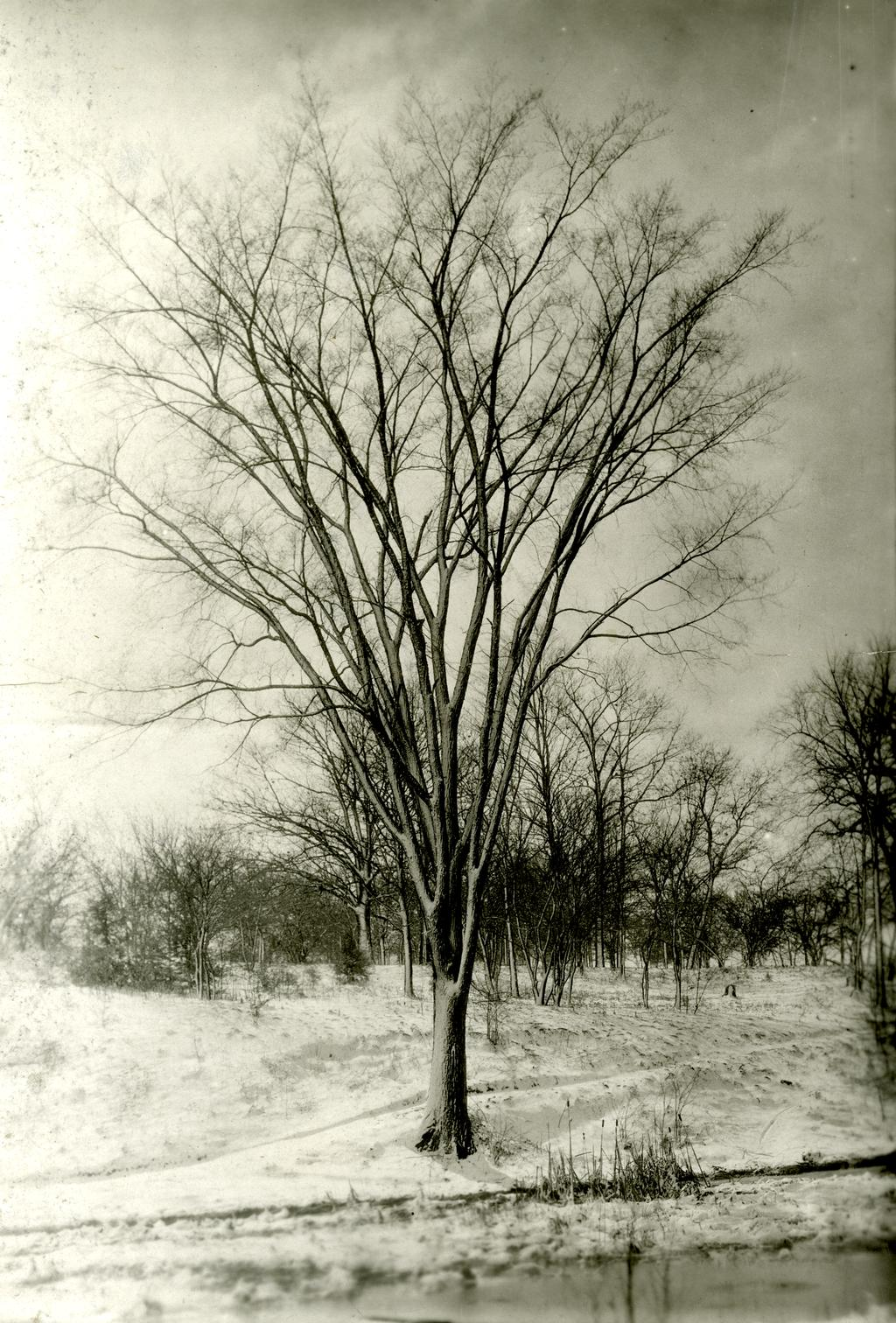 American elm on Lake Marmo after 1922 relocation with lengthy handwritten commentary on board. Describes moving tree under direction of O.C. Simonds. Note adds tree helped C.E.Godshalk become Arboretum superintendent in May 1922. Drawn illustration of mov