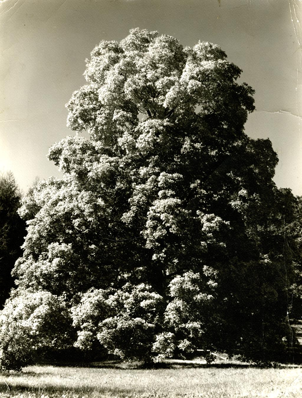 A black and grey photograph of a 250 year old sugar maple tree.