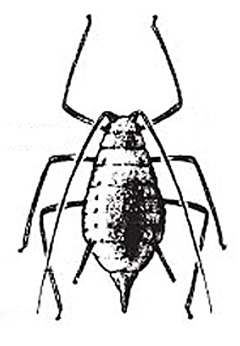 The aphid is a small, soft-bodied, pear-shaped insect