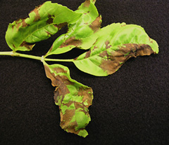 Tan to brown or black blotched areas on leaves developing along the leaf veins
