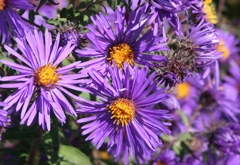 Flower with thin purple pedals and yellow center.