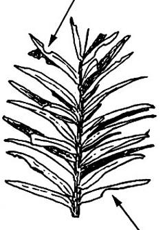 pests-black vine weevil