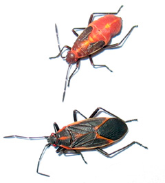 Boxelder nymph above, adult below