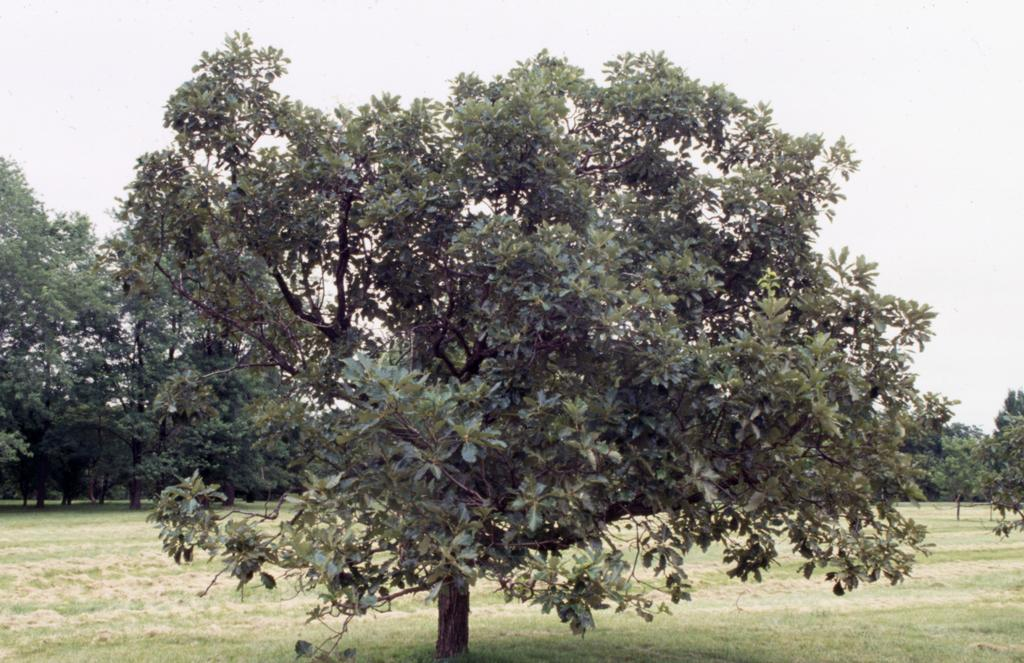 A tree with a short trunk, but long branches with many green leaves.