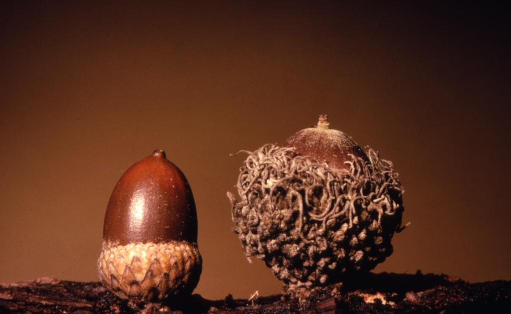 Quercus alba (white oak) and Quercus macrocarpa (bur oak), detail of two acorns side by side with nuts facing up, showing dark brown nut and shallow cup of white oak on left and deep, shaggy-fringed cup of bur oak on right
