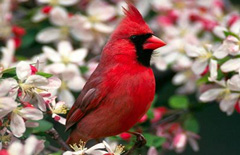 Cardinal sitting in crabapple