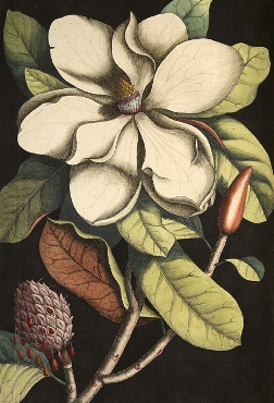 Magnolia, by Mark Catesby