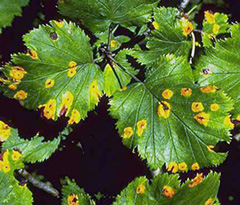 Large yellow spots on leaves