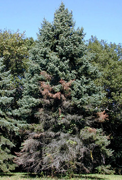The damage of cytospora on a spruce tree
