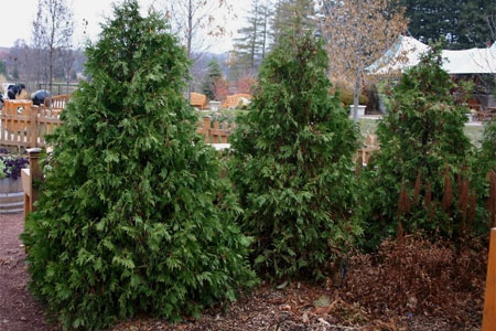 A grove of Eastern arborvitae with dark green,  scale-like foliage