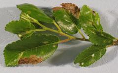 European elm flea weevil