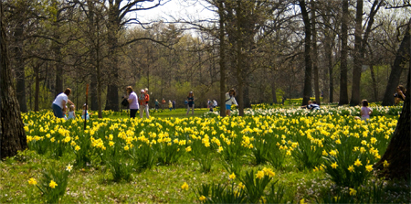 Visitors walking through a glade of yellow daffodils